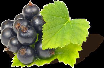 Polfeed owoce czarnej porzeczki