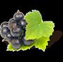 Owoc czarnej porzeczki